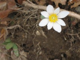 bloodroot flower by crazygardener