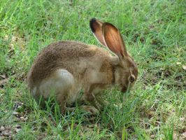 young jack rabbit by Flyboy008
