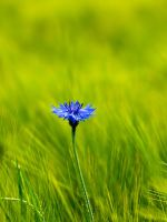 Cornflower by Pete1987