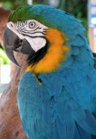 Blue and Gold Macaw by CabelaOnly