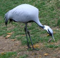 Tautphaus Zoo 112 Crane by Falln-Stock