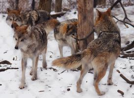 Mexican Wolf Stock 26: Pack by HOTNStock