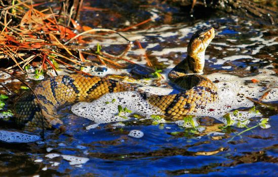 Water Moccasin No.4 by rdswords