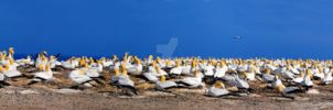 Gannets at Cape Kidnappers by LadyAngelus