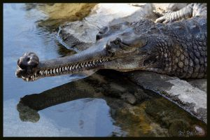 Indian Gharial by shutterbugmom