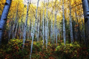 Framed With Aspens by mjohanson