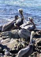 Pelicans mating by terrybare