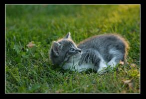 Grey Kitten by BlindedbyScience