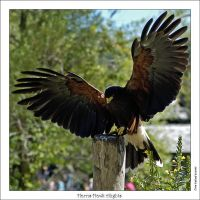 Harris Hawk Alights by oaksong