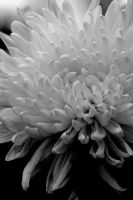 Aster in BW 03 by marrysa