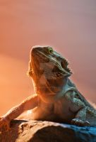 Bearded Dragon by Jordan2002