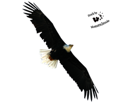 Cut-out stock PNG 32 - flying bald eagle by Momotte2stocks