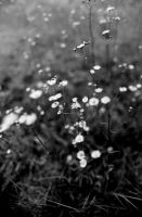 Field of Daisies by RobertRobledo