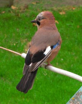Eurasian Jay by moniaryba
