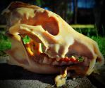Complete Coyote Skull by PAlisauskas