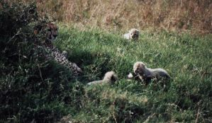 Disturbing cheetah's family 2 by ste-65