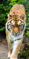 Amur Tiger Stock 19 by HOTNStock