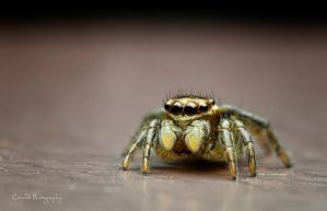~ Metal looking Jumping spider by Enticedphotos