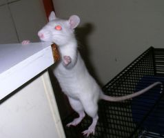 Albino Rat by yoghurtinator-stock