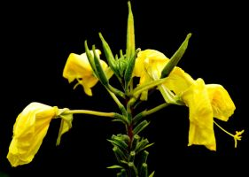 yellow flower at night by saguara
