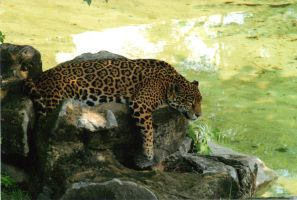 Leopard resting on rock by ZNwolflove