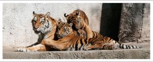 Tigers - 976 by eight-eight