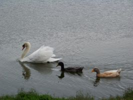Swan and Friends by Dream-finder