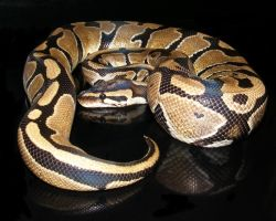 Ball Python Sheen by Toxic-Muffins-Studio