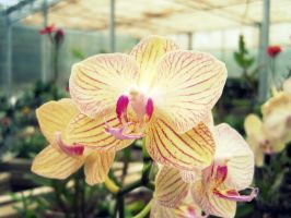 Orchids by Keome