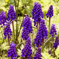 Grape Hyacinths by AcceptedOutcast