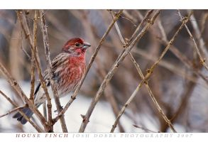 House Finch by leavenotrase