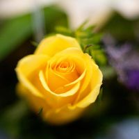 Yellow Rose Lensbaby II by LDFranklin