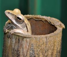 Frog in Bamboo I by nordfold
