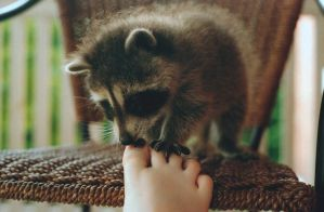 Baby Raccoon by xstcy24
