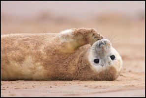 The Sandy Seal Pup by nitsch