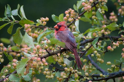 Cardinal in a berry tree by dworld