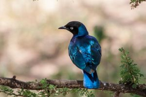 Perched Starling by WarmFuzzyPics