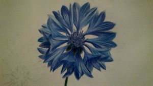 Cornflower by Shirkee