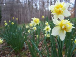 more daffodils by LilithsSmile