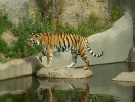 Tiger at the zoo 3 by Hoshi88