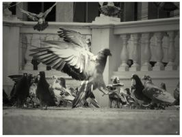 Colomba nella piazza. by boing-boing