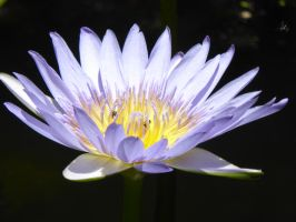 12 - Water Lily by kisshufan101