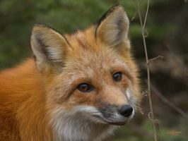 Fox up close by DGAnder