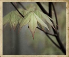 Japanese Maple by fotocali