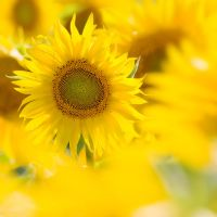 Single sunflower by abey79