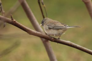 female junco by Laur720