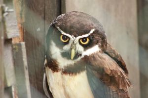 Spectacled Owl - 2 by Skarkdahn