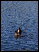 Duck Butts by midgard