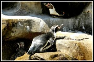 Humbolt Penguins 2 by superfrodo
