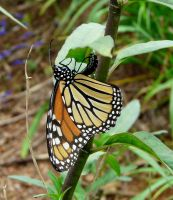 Monarch...laying eggs by duggiehoo